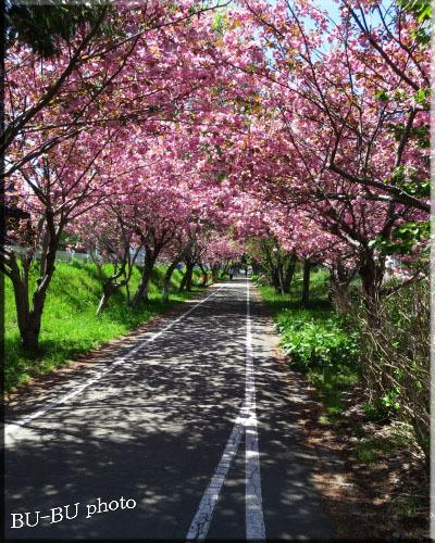 桜のトンネル。.jpg