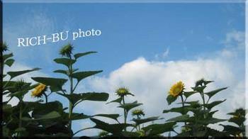咲きかけのヒマワリ。.jpg