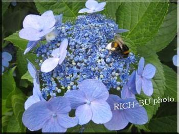 ハッチはママの事を忘れ・・・紫陽花に夢中。.jpg